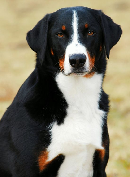 Appenzeller Sennenhund Dog Breeds Appenzeller Dog Dogs