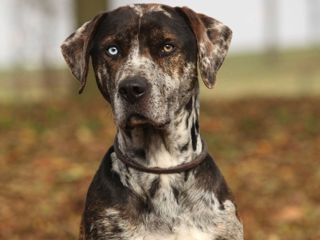 The Catahoula Cur Is An American Dog Breed Named After Catahoula