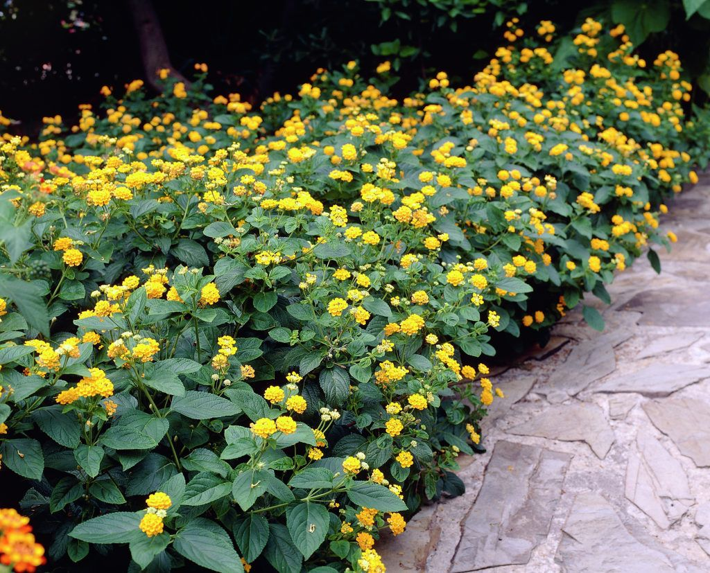 Lantana Lantana Camara The Lantana Plant Is A Genus Of About 150 Species Of Perennial Flowering Plants Lantana Plant Yellow Lantana Fast Growing Flowers