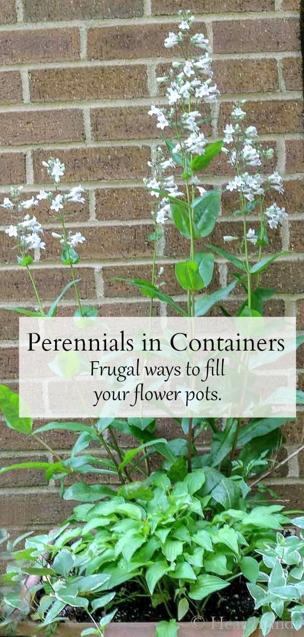 Using perennials for containers is a great way to save money and keep the plants in the ground happy and healthy