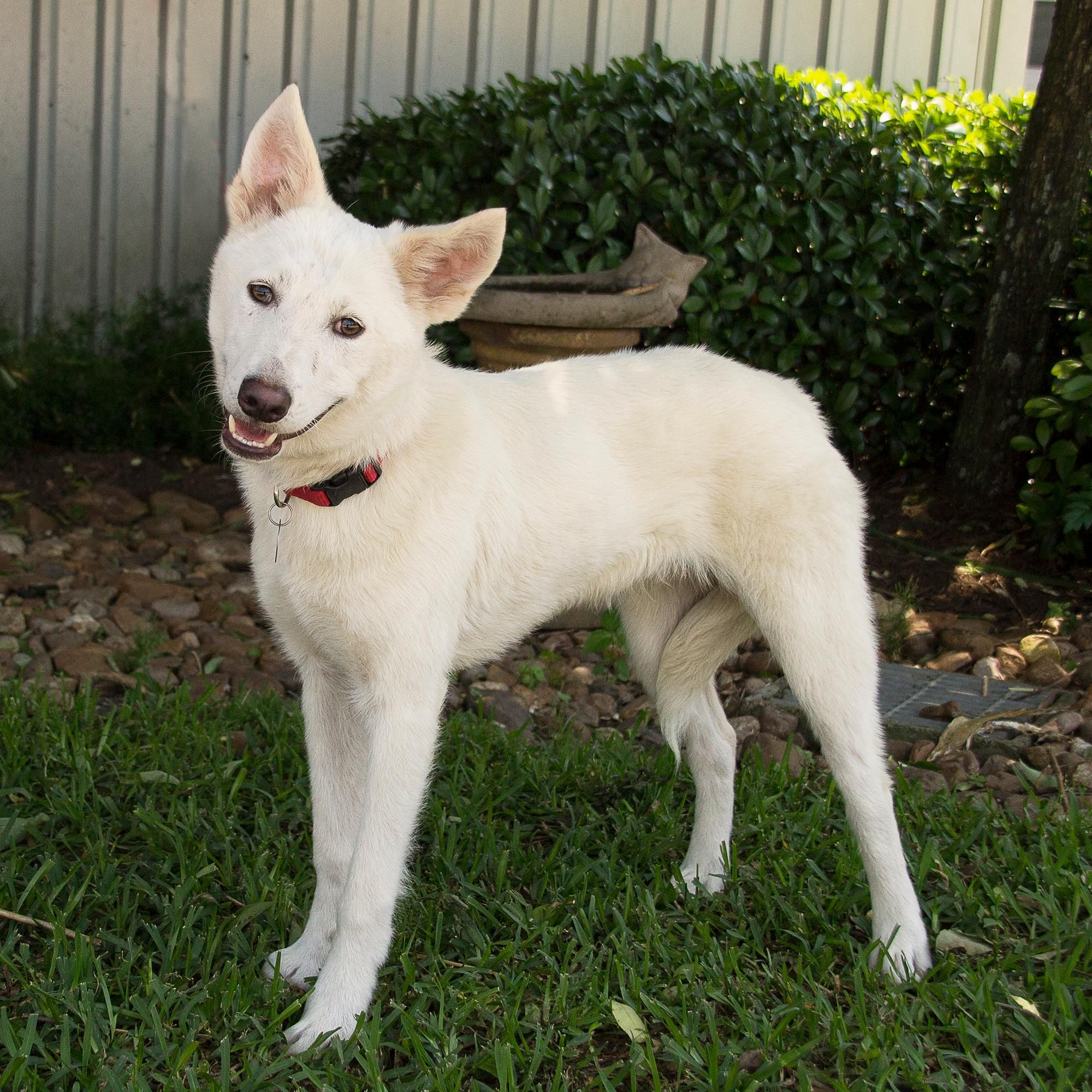 Interesting A Forever Family Near Use Petfinder To Find Adoptable Pets Your Adopt Smuggler On Dachshund Husky Mix Temperament Dachshund Husky Mix Size Smuggler Is An Adoptable Husky Searching