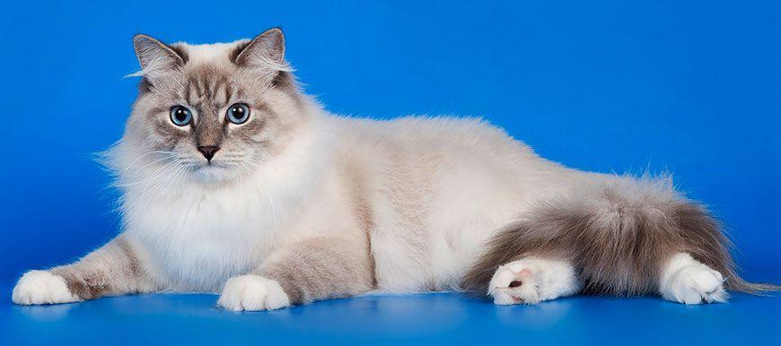 картинки невской маскарадной кошки
