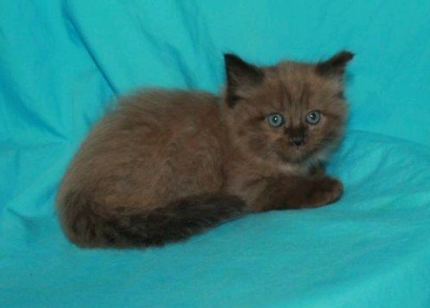 Purebred Sepia and mink ragdoll kittens available Cats