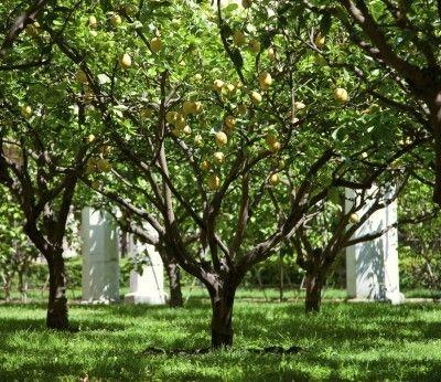 Lemon Tree Life Cycle How Long Do Lemon Trees Live Meyer Lemon Tree Lemon Tree Tree Life Cycle