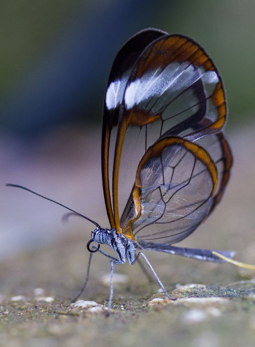 The Glasswinged Butterfly Another One Of Gods Beautiful Creations