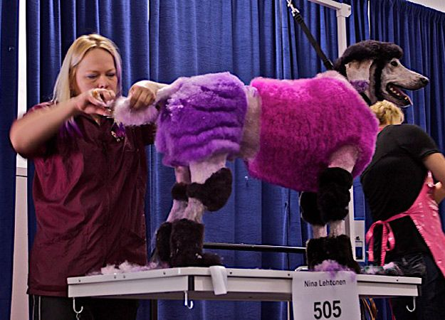 Competitive Poodle Grooming Photos : Extreme Poodles, only on TLC