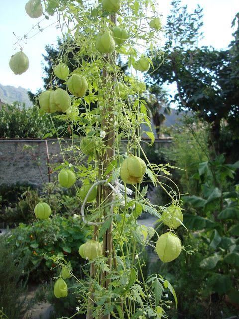 Cardiospermum halicacambum -   http://lefotodiluisella.blogspot.it/