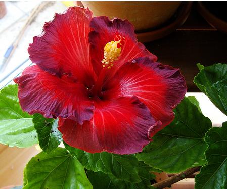 Dark Rich Red Hibiscus Rosa Sinensis Nightfire Flower Hibiscus Flowers Hibiscus Tree Hibiscus Rosa Sinensis