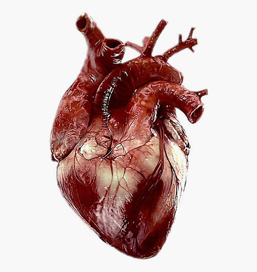 Transparent Real Heart Png Real Human Heart Png Png Download Is Free Transparent Png Image To Explore M Human Heart Drawing Human Heart Human Heart Anatomy