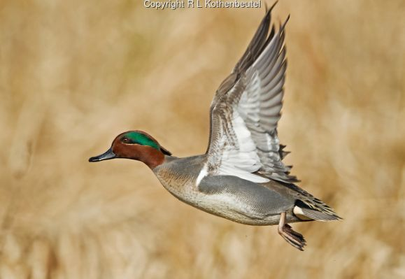 Green Winged Teal Hen Flying