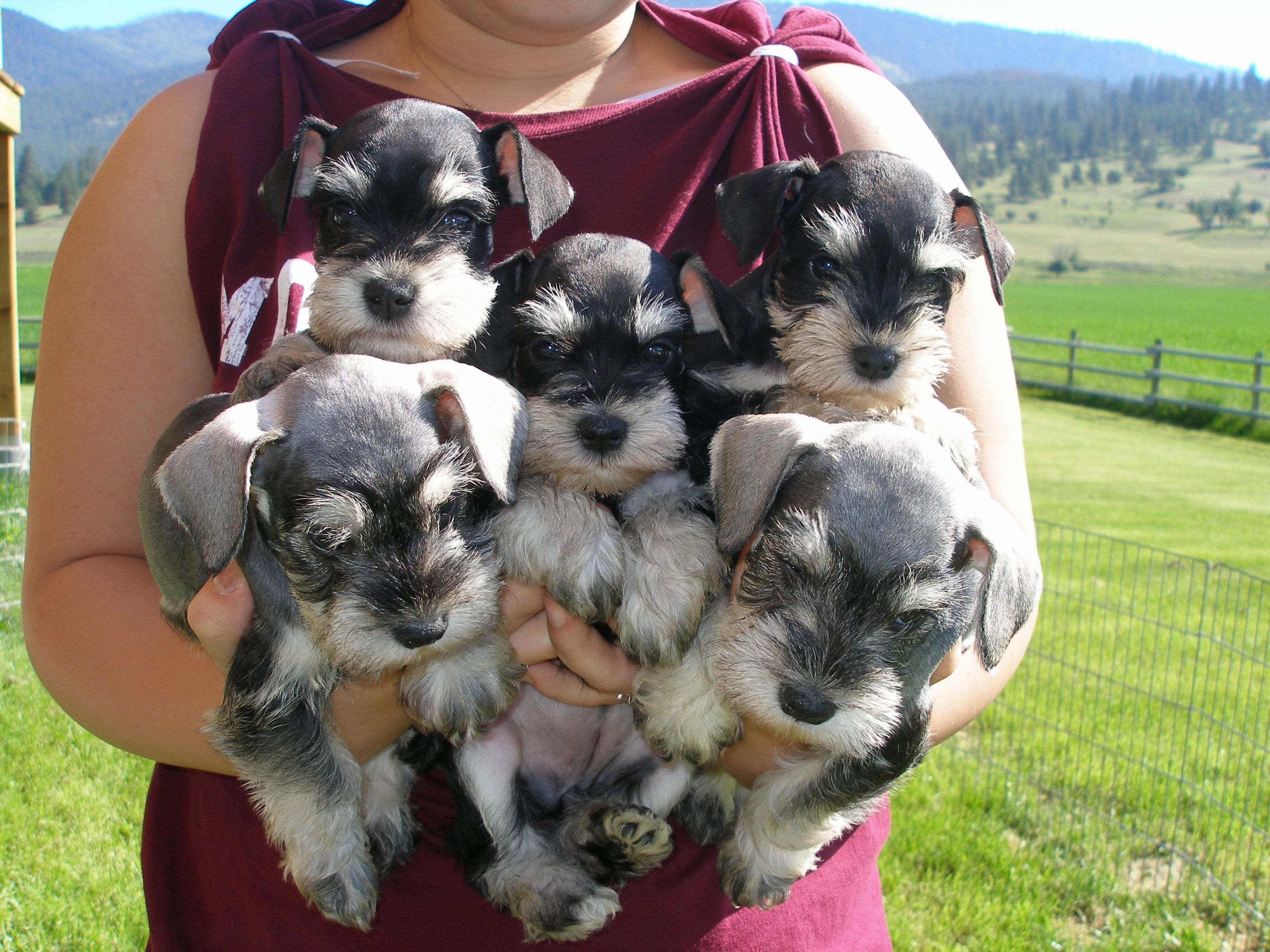 Mini Schnauzer Bouquet If Josh Got Me A Bouquet Of Puppies For Valentines Day I Would Kiss His Feet Schnauzer Puppy Miniature Schnauzer Puppies Schnauzer