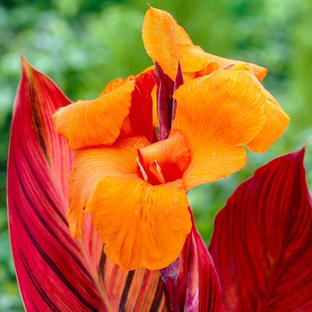 Canna Durban (Tropicana) Bulb flowers, Flower landscape