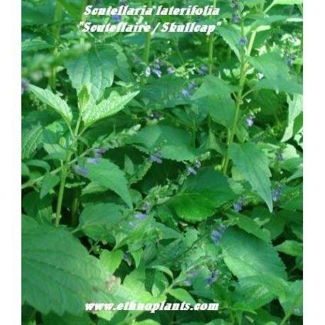 scutellaria laterifolia o escutelaria semillas y plantas para