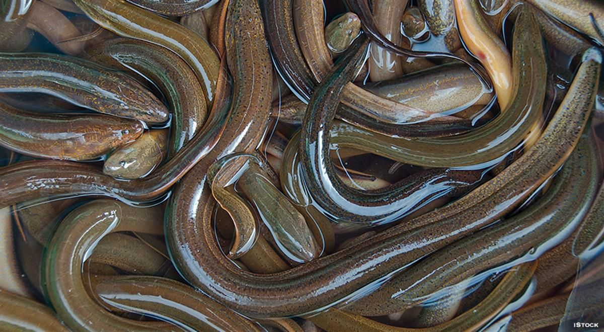 Eel From A To Z 26 Thing To Know About Eel Fish Fish Wildlife Crime Things To Sell