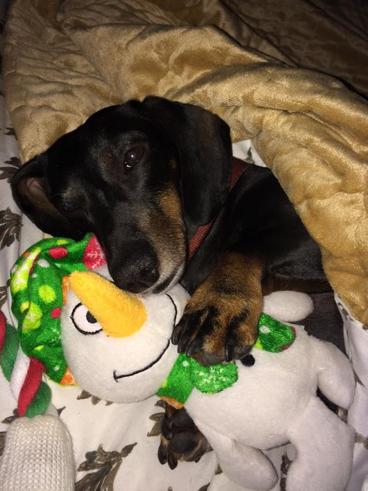 Everyone needs a snowman to cuddle. doxie