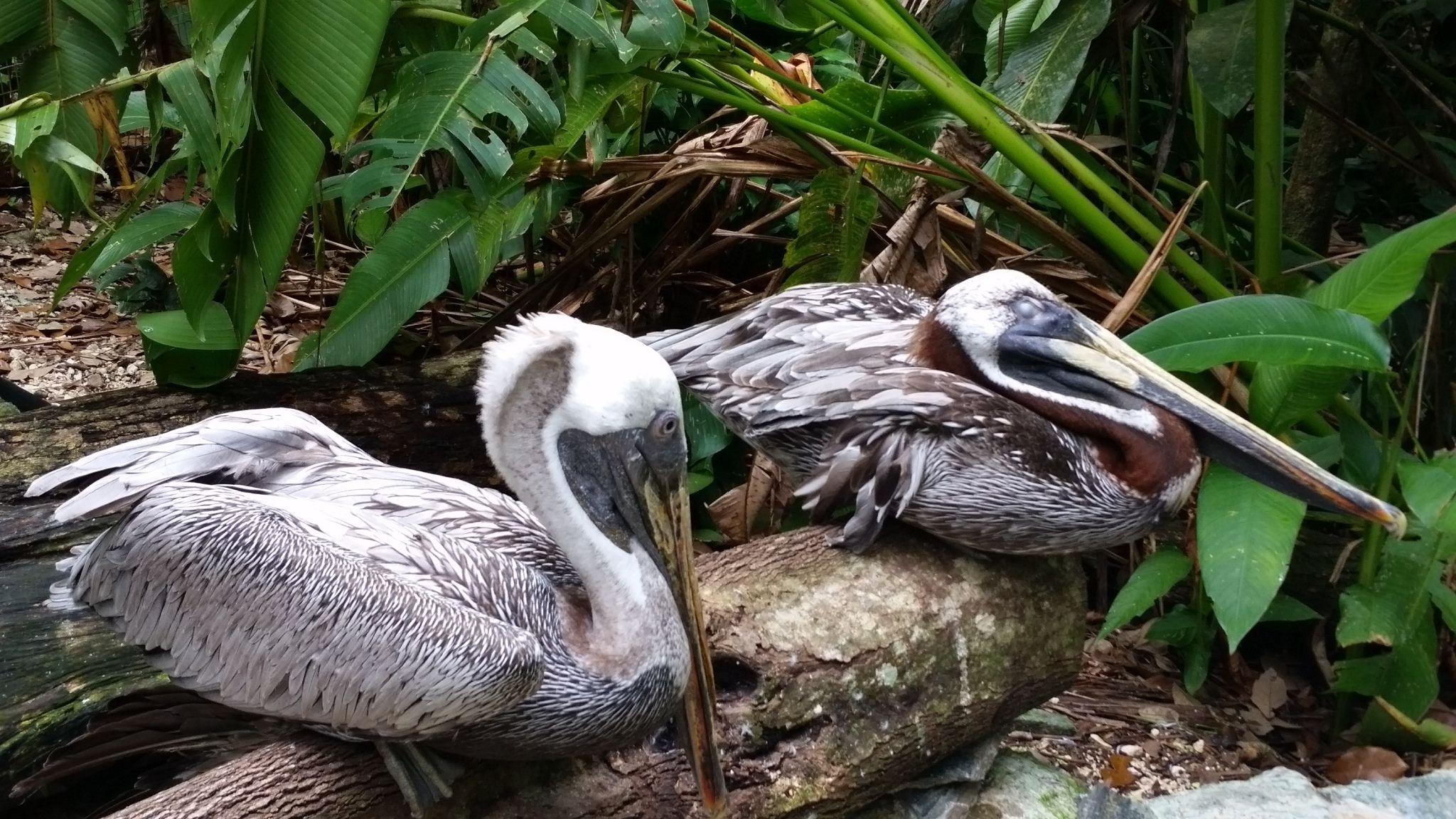 Belize Zoo!