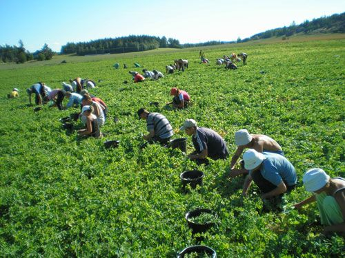 Image result for strawberry picking finland