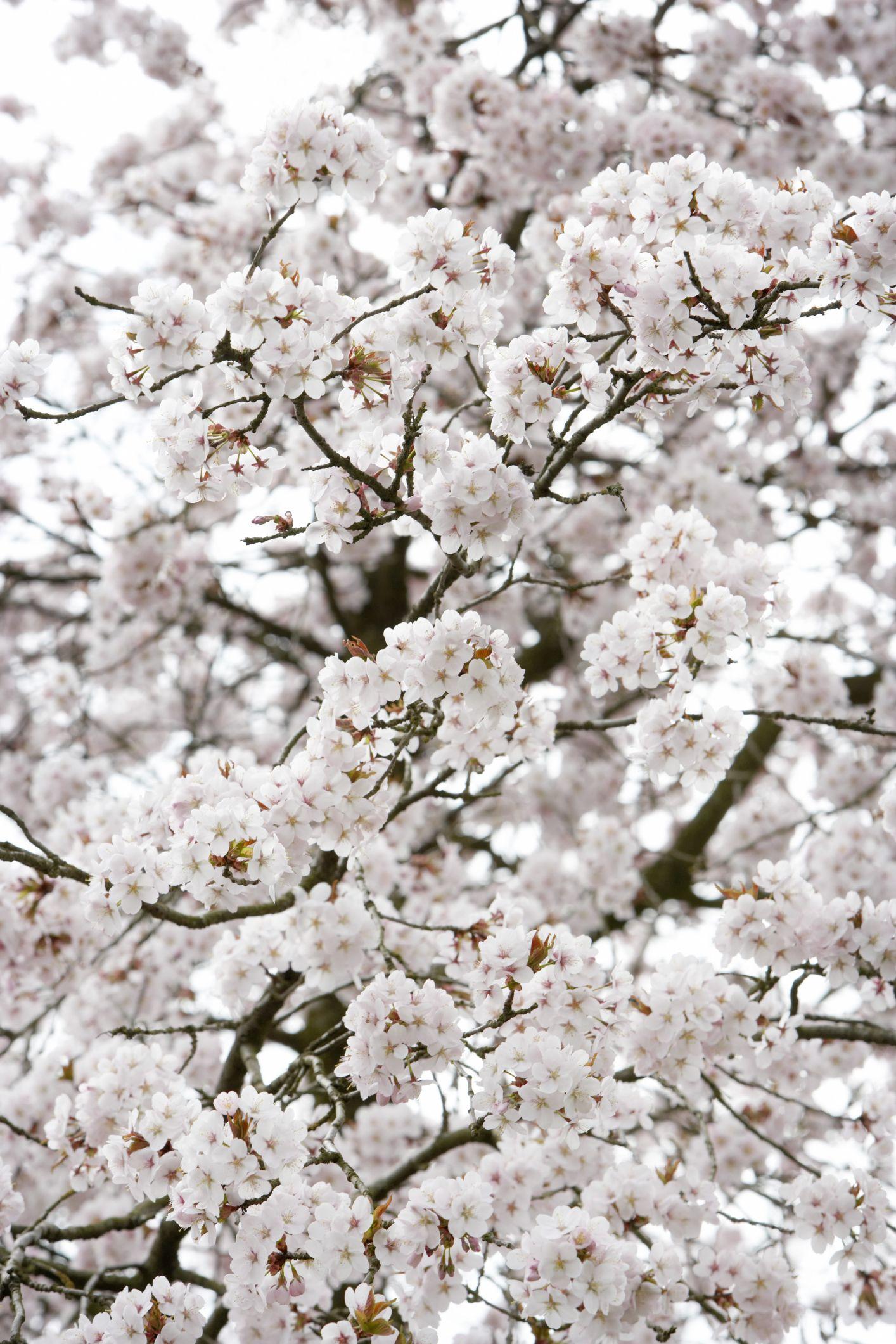 The Ten Best Crape Myrtle Varieties Hunker Yoshino Cherry Tree Growing Cherry Trees Weeping Cherry Tree