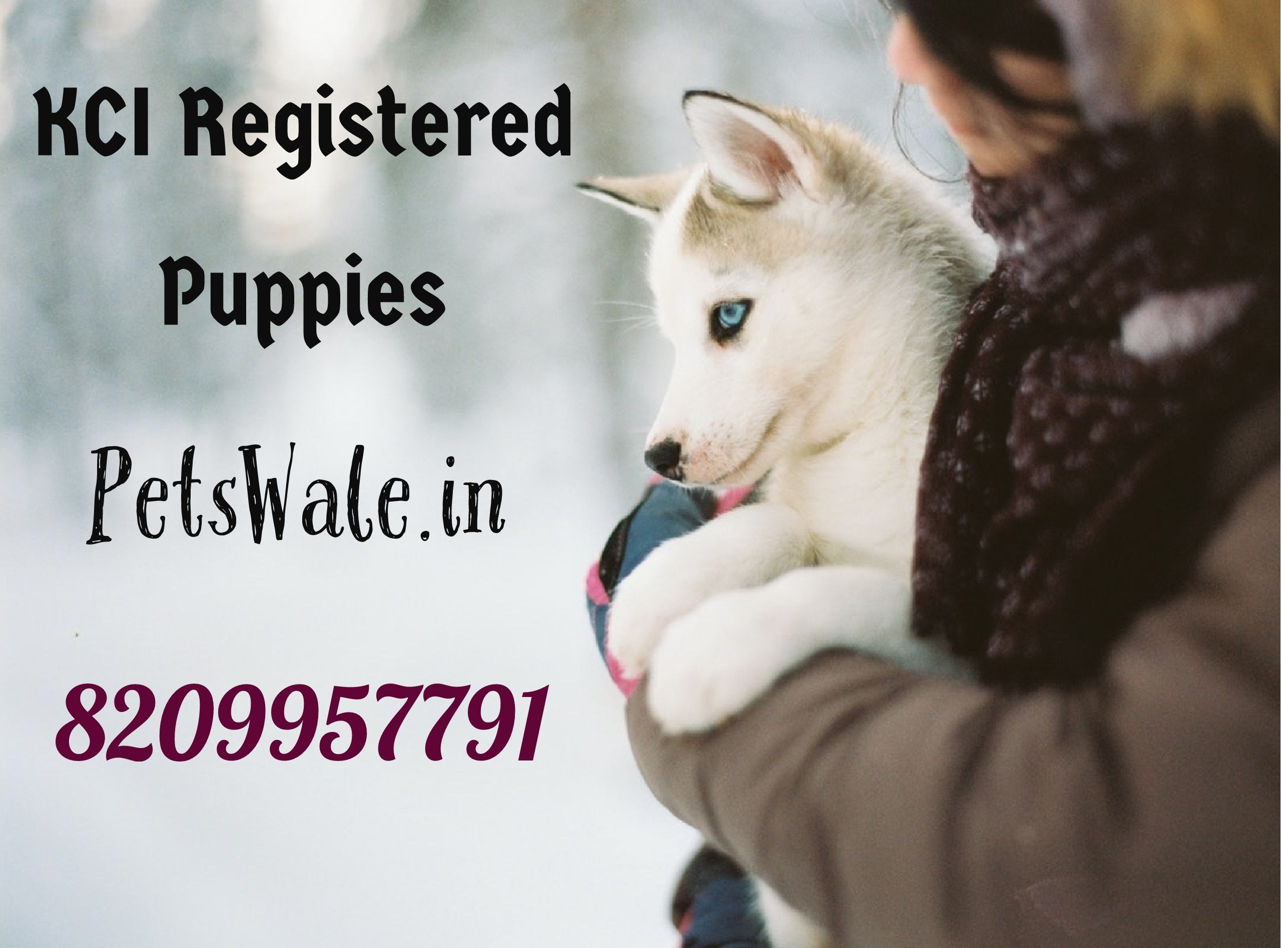 Kci Registered Husky Puppies Call Now At Petswale Pet Shop