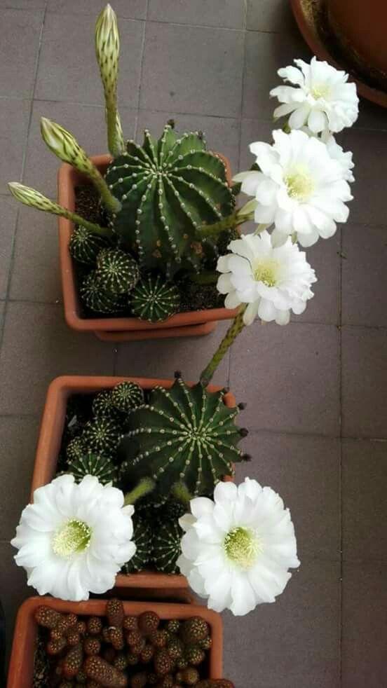 Pin von ivyza3 auf Suculentas y cactus | Pinterest | Kaktus ...