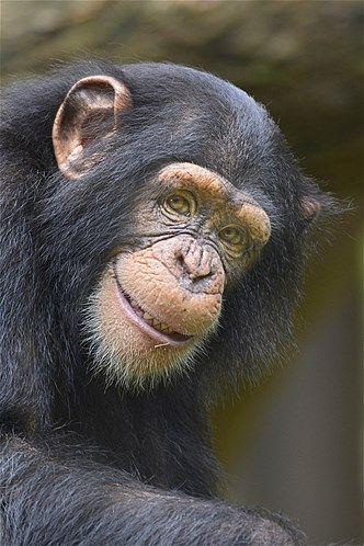 Image Chimpanzee 169 Toonman Getty Images Chimpanzees