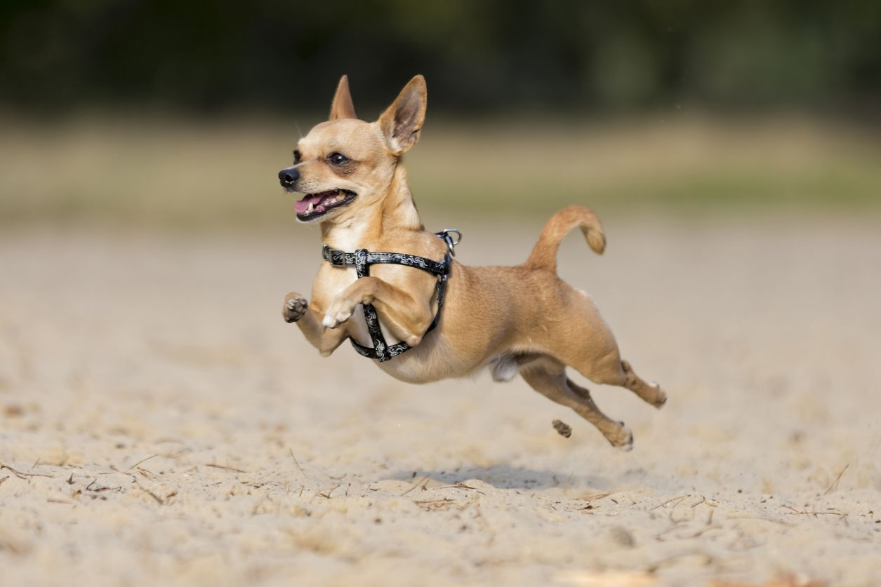 Chihuahua 20 Small Dog Breeds That Are The Cutest Creatures On