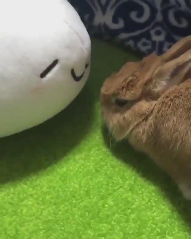 #rabbit #rabbits #pets #bunny #bunnylovers #animalvideos