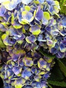 Everlasting® Series of Hydrangeas | Plants Nouveau