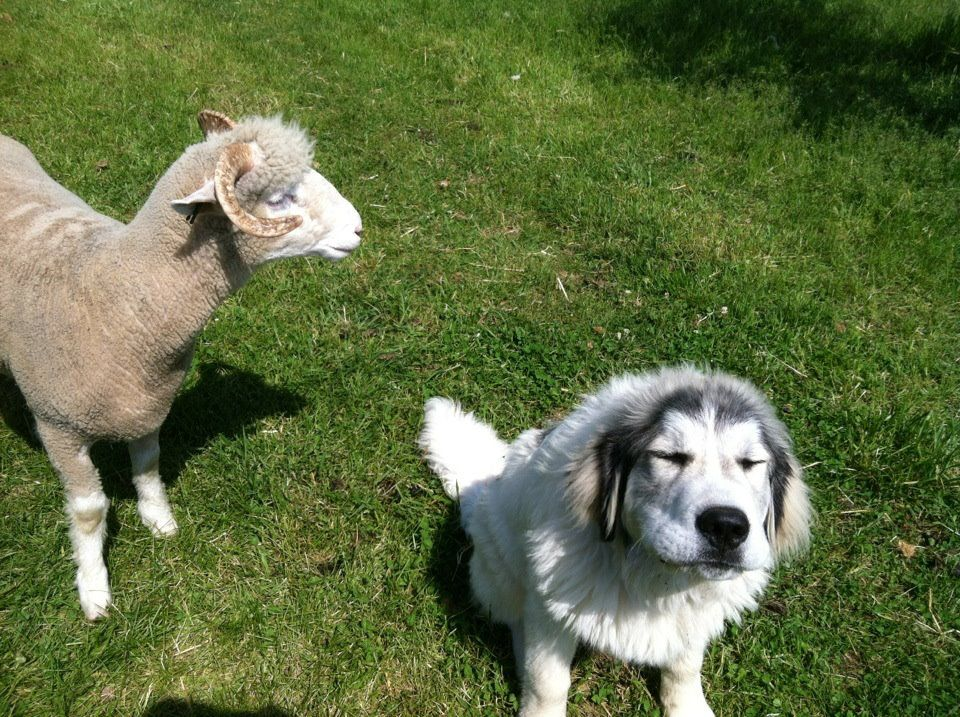 Best friends luther the great pyrenees with lacey a