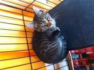 Flop is an adoptable Domestic Short Hair Cat in Woodbury, NJ. Rescue Date: 9/1/2013 Fostered in Woodbury, NJ  At just 10 weeks old, Flip and Flop found themselves without a mom and no food. Although...