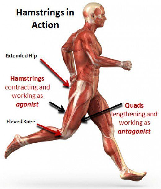the leg bicep muscle: developing the hamstrings | muscles and,
