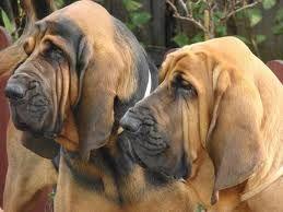 Houston Area Hound Association Bloodhound Dogs Bloodhound Puppies Bloodhound