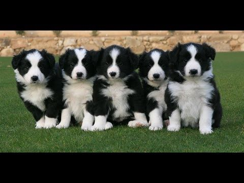 Pin By Dan Marion On Border Collies Rule Collie Puppies Border Collie Puppies Border Collie Dog
