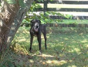 Abby Is An Adoptable Great Dane Dog In Nashville Tn Hi My Name
