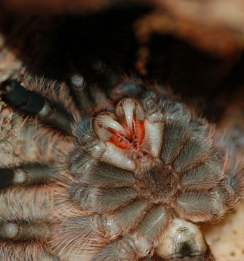 Brachypelma Albopilosum Molt Sequence Warning Spiders クモ