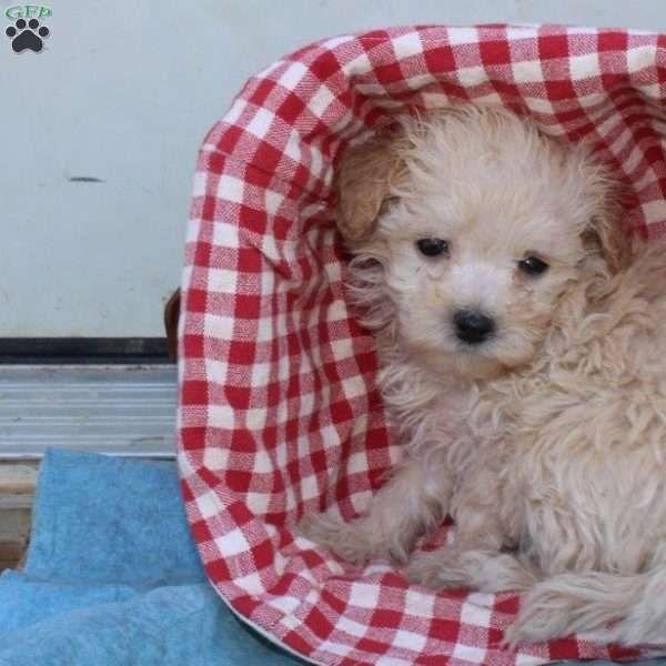 Amilia Boxer Mix Puppy For Sale In Ohio Boxer Mix Puppies