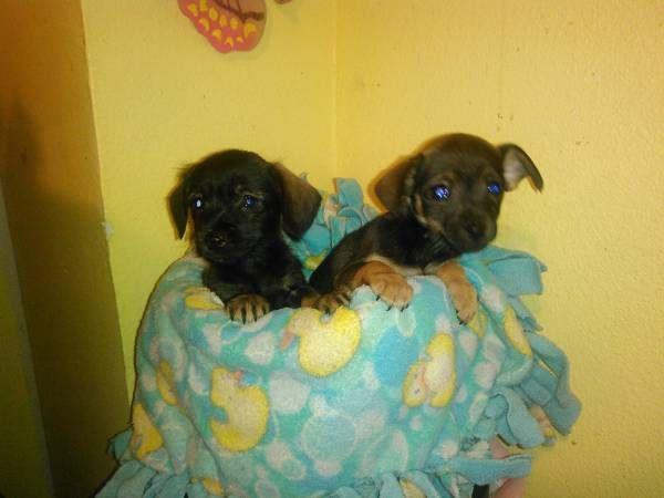 Dachshund / Yorkie (Dorkie) Mixed Puppies. 8 weeks old