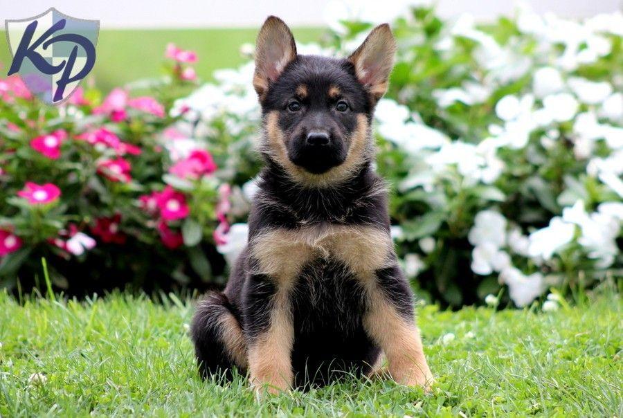Jewel German Shepherd Puppies for Sale in PA Keystone