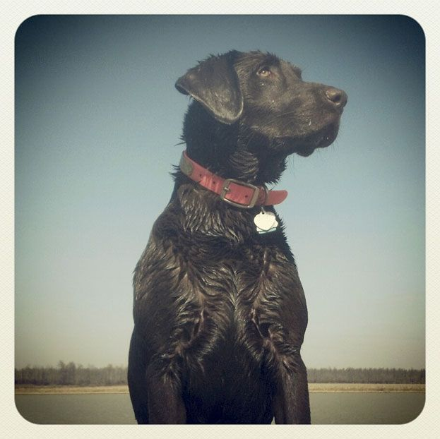 Morgan Grace, a chocolate Labrador retriever from Franklin, Tennessee