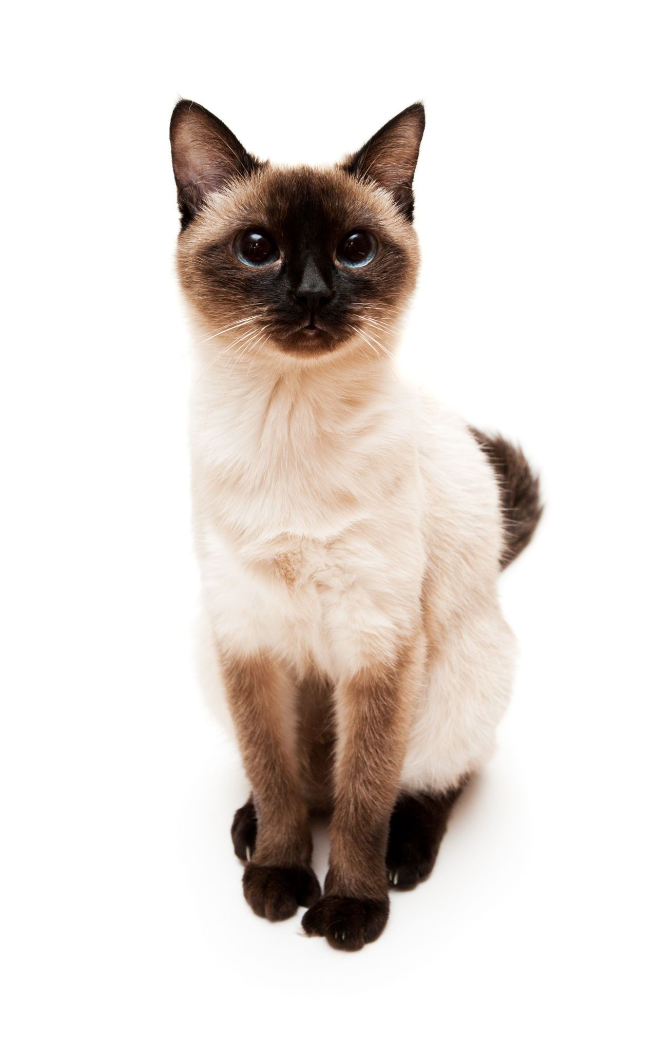 Check Out the Distinct Personality of the Snowshoe Siamese