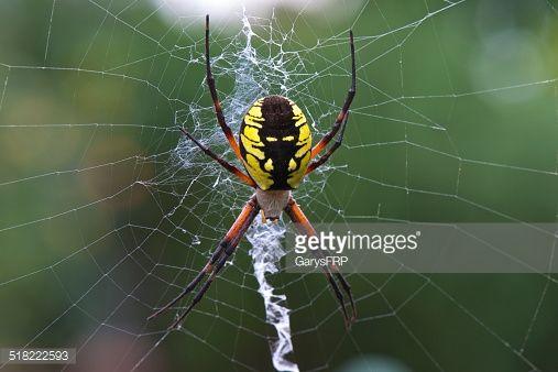 Http Media Gettyimages Com Photos Yellow Garden Spider Argiope Aurantia Silk Web In Oregon Garden Picture Id518 Vegetable Garden Planning Garden Pests Spider