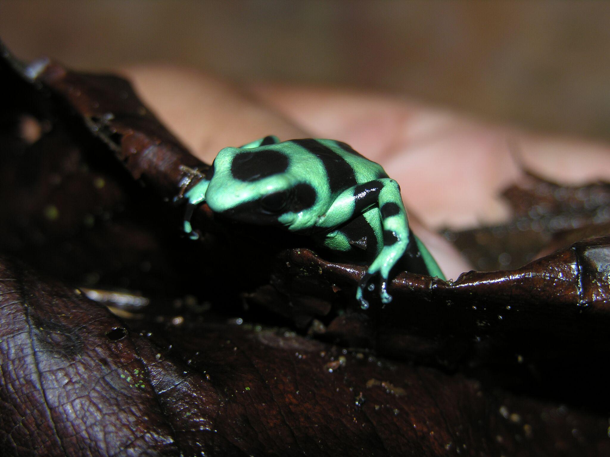Giftpfeil-Frösche leuchten in allen Farben besonders vielzählig im Indio-Maíz Nationalpark.
