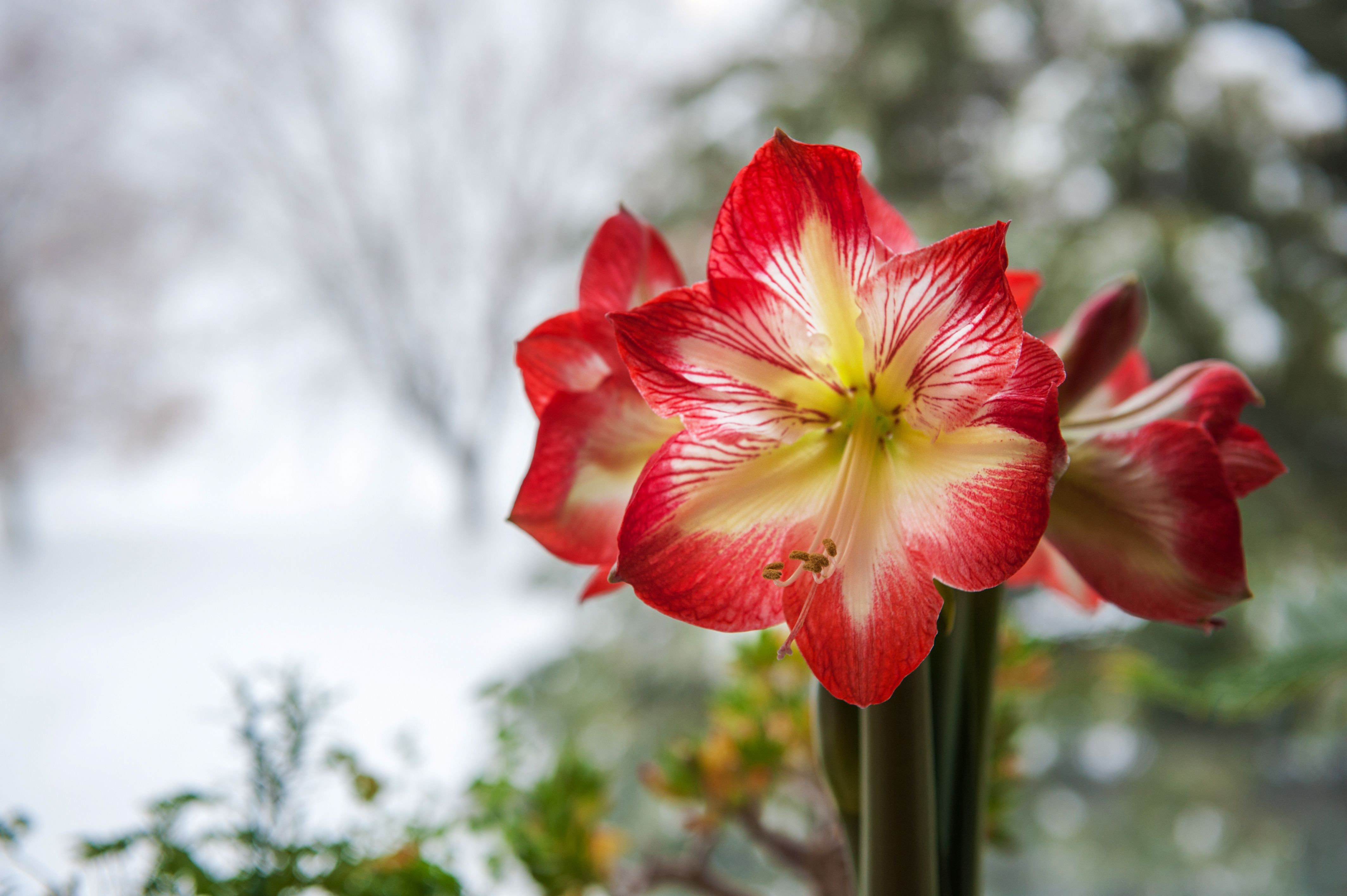 How Long Does An Amaryllis Bloom Hunker Amaryllis Plant Amaryllis Amaryllis Flowers