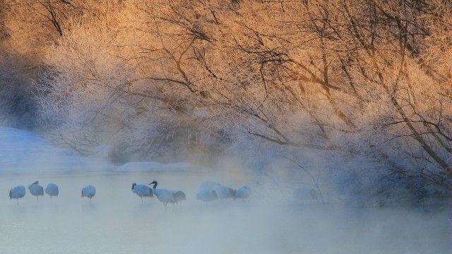 Japan cranes,  Hokkaido