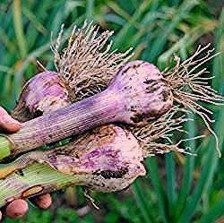 Photo of Knoblauch pflanzen: So gelingt der Anbau