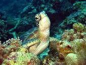 Foto - gigante, tortuga marina u18674477 - Buscar fotos e imágenes y fotos Clip Art - u18674477.JPG