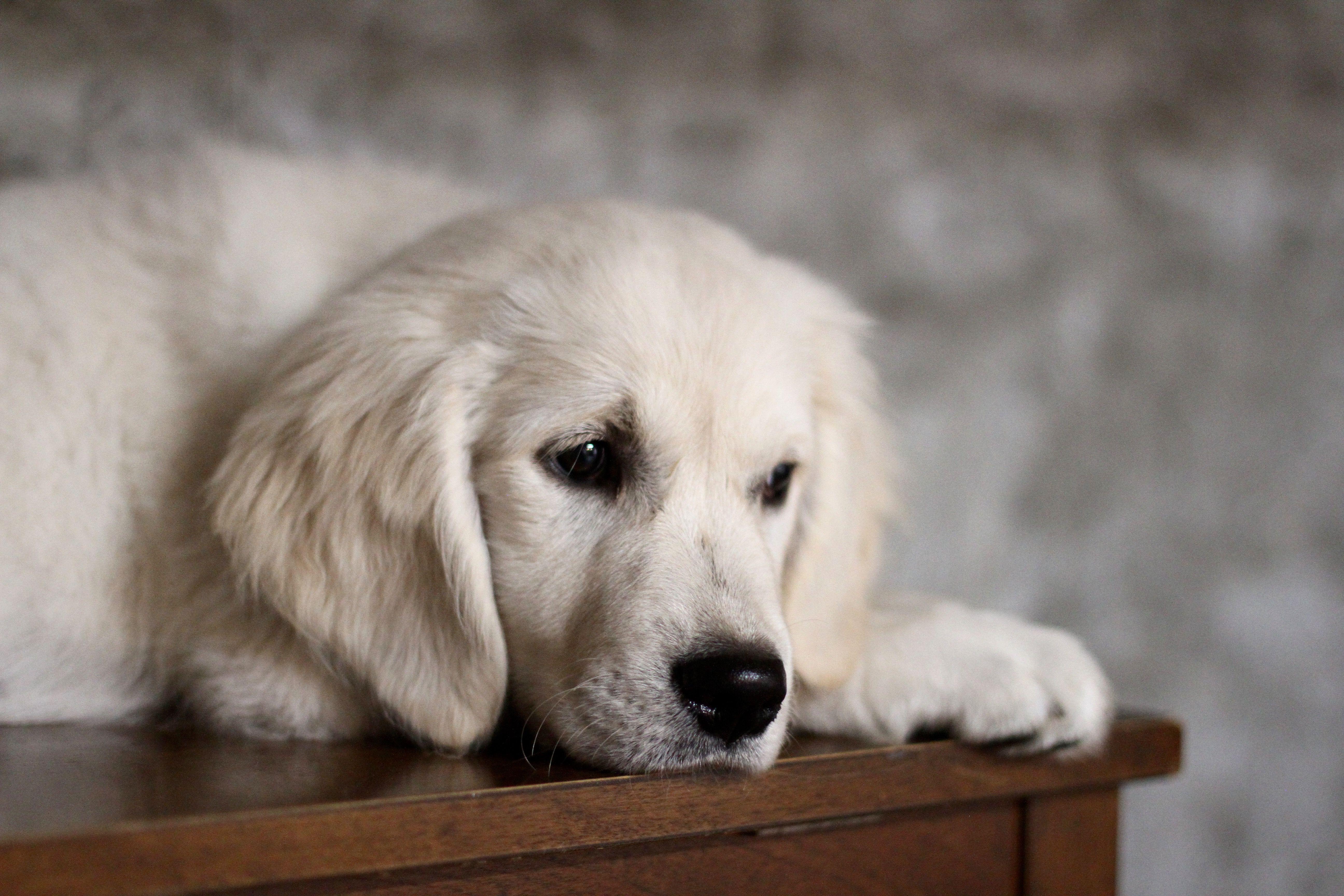 Puppy Photoshoot English Retriever Puppies Dogs