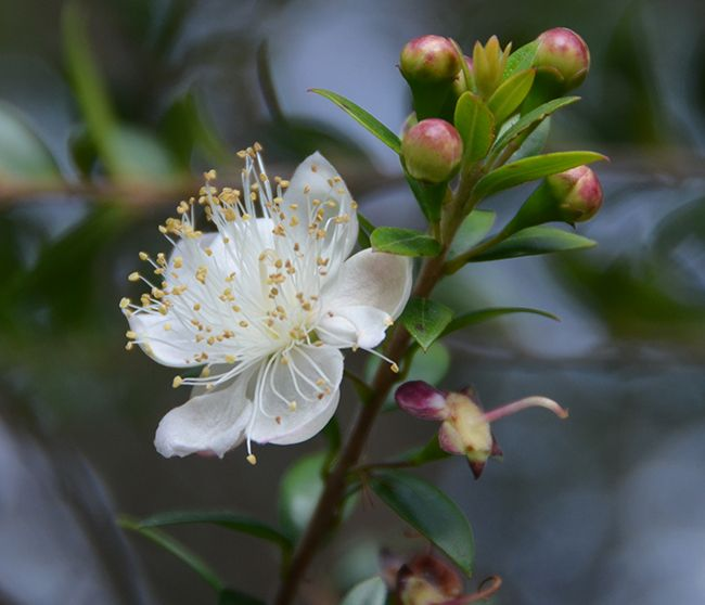 White Myrtle Flower With Ripening Purple Berries Myrtle Flower Flowers Flowers Photography