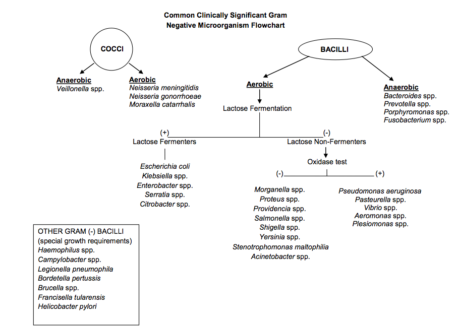 Gram negative identification flow chart positive bacteria gpb gram negative identification flow chart positive bacteria gpb 904x649 jpeg ccuart Images