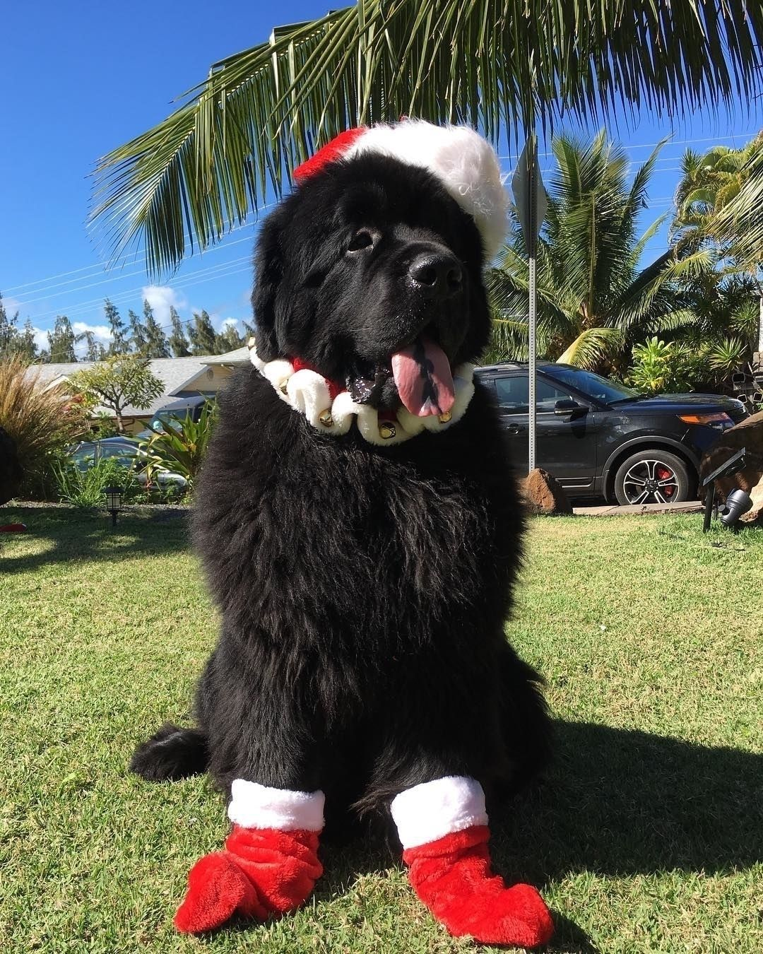 Newfoundland Dog Breed Newfoundland Puppies Newfoundland Dog